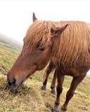Wild horse eatint hay royalty free stock photography