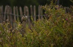 Solitary bird in a bush Royalty Free Stock Photo