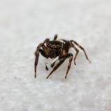 Hasarius Adansoni jumping spider Royalty Free Stock Image