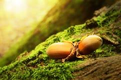 Haselnüsse auf einem moosigen Boden Lizenzfreie Stockfotos