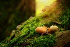 Haselnüsse auf einem moosigen Boden Stockbild