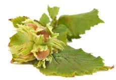 Haselnüsse oder Corylus Avellana mit Blättern Lizenzfreie Stockbilder