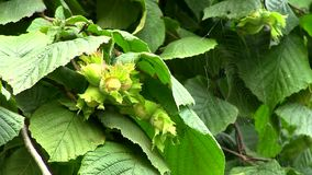 Haselnuss (Corylus) stock video
