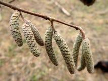 Haselnuss, Corylus Avellana Lizenzfreies Stockfoto