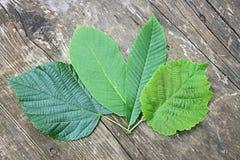 Haselnuss-, Kastanie-, Walnuss-und Lindenbaum-Blätter Stockbilder