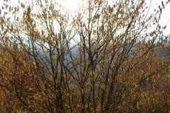 Haselnussbüsche in der frühen Blüte, milde Wintersaison in Deutschland an Middlerhine-Bereich lizenzfreies stockbild