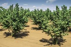 Haselnussbaumplantage Lizenzfreie Stockbilder