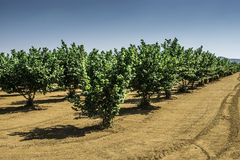 Haselnussbaumplantage Stockbild