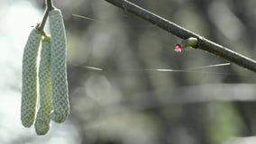 Haselnussblüte und -nebenfluß im Frühjahr stock video footage