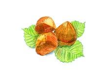 Haselnussfrüchte mit Blättern Stockfotos