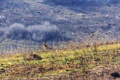 Hasen auf einem Gebiet Stockbild
