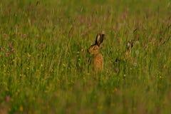 Hasen in der Wiese Stockfotografie