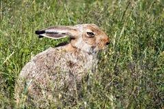 Hasen, die im grünen Gras sitzen Lizenzfreies Stockbild