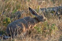 Hasen, die morgens Sonne des Grases essen Lizenzfreie Stockfotos