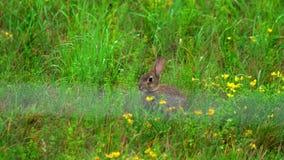 Hasen im grünen Gras, ein Regenschauer stock footage