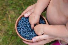 Haskap莓果收获,忍冬属caerulea,也卡耶斯honeyb 免版税库存照片