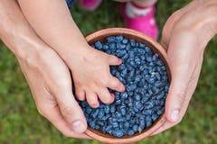 Haskap莓果收获,忍冬属caerulea,也卡耶斯honeyb 库存照片