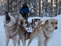 Haski sibiry is the dog sledding in the north pole of lapland Finland. Pack of haski sibiry dogs sledding on the cold uce in the winderland of lapland Finland stock image