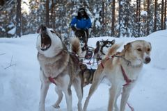 Haski sibiry is the dog sledding in the north pole of lapland Finland. Pack of haski sibiry dogs sledding on the cold uce in the winderland of lapland Finland royalty free stock images
