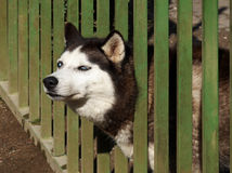 Hasky. Husky is watching out from the fence Royalty Free Stock Images