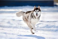 Χαριτωμένο hasky τρέξιμο σκυλιών το χειμώνα Στοκ Εικόνες