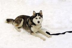 Hasky dog Stock Photos