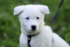 Hasky puppy Stock Photo