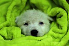 Hasky puppy Stock Photos