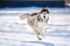 Hasky running för gullig hund i vinter Arkivfoto