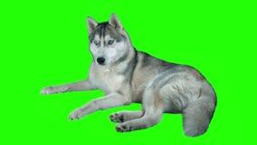 Hasky siberiano del cane Metraggio altamente dettagliato verde 4K dello schermo Pulisca l'alfa Sparato sulla macchina fotografica stock footage
