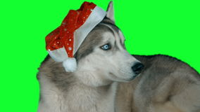 Hasky siberiano del perro Cantidad altamente detallada verde 4K de la pantalla Limpie la alfa Tirado en la cámara 4K de la magia  almacen de metraje de vídeo