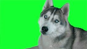 Hasky siberiano del perro Cantidad altamente detallada verde 4K de la pantalla Limpie la alfa Tirado en la cámara 4K de la magia  almacen de video