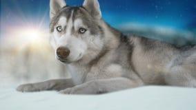 Hasky siberiano del perro en fondo del invierno alta cantidad detallada 4K Tirado en cámara del cine de la magia negra almacen de video