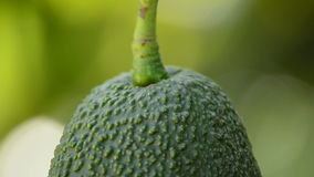 Hass avocado fruit in close up hanging at tree stock video footage