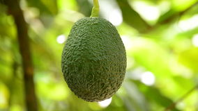 Hass avocado tropical fruit hanging of peduncle stock video footage