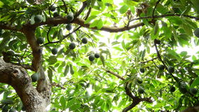 Hass avocados tropical fruit hanging at branch of tree