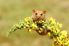 Hasselmus på blomman Arkivfoto
