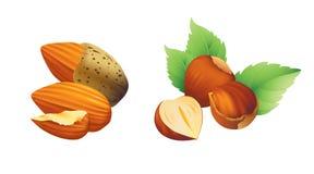 Hasselnöt- och mandelillustration Arkivfoto