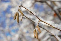 Hasselnötblomningar på en filial som täckas med insnöad vinter royaltyfri fotografi