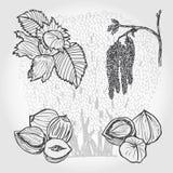 Hasselnöten, trädet och muttrar, vektor skissar Fotografering för Bildbyråer