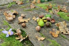 Hasselnötter och ekollonar Arkivbild