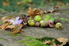Hasselnötter och ekollonar Royaltyfri Foto