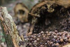 Hasselnötterna i trädet Arkivfoto