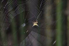 Hasselt s Spiny pająk Fotografia Stock