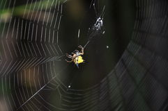 Hasselt s Spiny Spider2 Royalty Free Stock Images