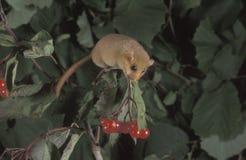 Hasselträ eller gemensam hasselmus, Muscardinusavellanarius Fotografering för Bildbyråer