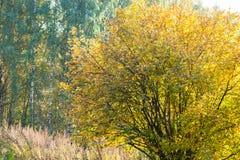 Hasselträbuske i en höstskog Royaltyfria Foton