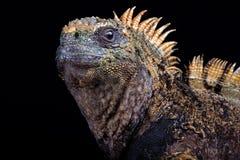Hassi di cristatus del Amblyrhynchus dell'iguana marina fotografie stock libere da diritti
