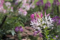 Hassleriana cor-de-rosa e branco do Cleome no jardim Foto de Stock