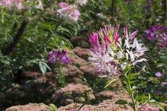Hassleriana rosado y blanco del Cleome en el jardín Imagen de archivo